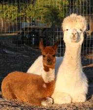 Alpacas in Florida at staranch alpacas mom and cria